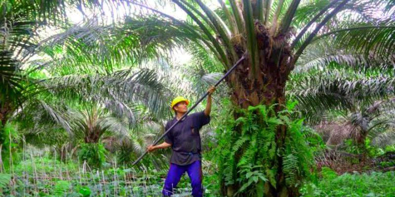 Harga Sawit di Riau Turun Tipis, Ini Daftarnya